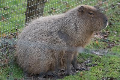Animals, Capybara, Marwell Zoo @ Marwell Zoo, City of Winchester,England