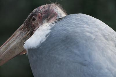 Animals, Birds, Marabou Stork, Marwell Zoo @ Marwell Zoo, City of Winchester,England - 07/01/2018