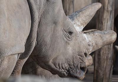 Animals, Marwell Zoo, White Rhinoceros @ Marwell Zoo, City of Winchester,England