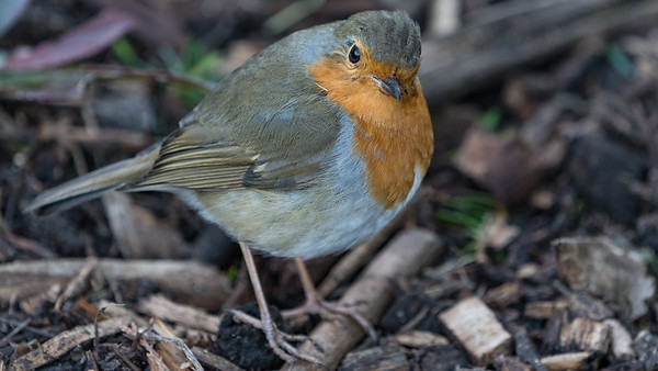 Animals, Birds, Marwell Zoo, Robin @ Marwell Zoo, City of Winchester,England