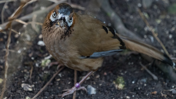Animals, Birds, Laughingthrush, Marwell Zoo, Moustached Laughingthrush, Walkthrough Aviary @ Marwell Zoo, City of Winchester,England
