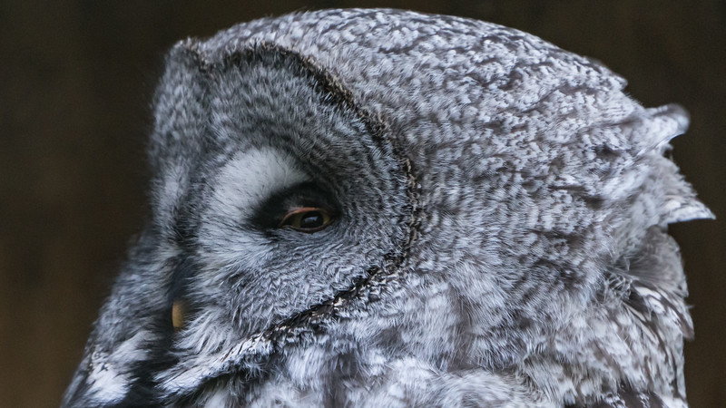 Animals, Birds, Great Grey Owl, Marwell Zoo, Owl @ Marwell Zoo, City of Winchester,England