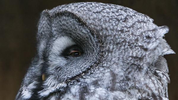 Animals, Birds, Great Grey Owl, Marwell Zoo, Owl @ Marwell Zoo, City of Winchester,England