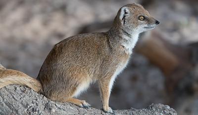 Animals, Marwell Zoo, Mongoose, Yellow Mongoose @ Marwell Zoo, City of Winchester,England