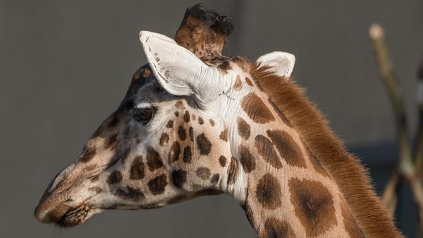 Animals, Giraffe, Marwell Zoo, Rothschilds Giraffe @ Marwell Zoo, City of Winchester,England