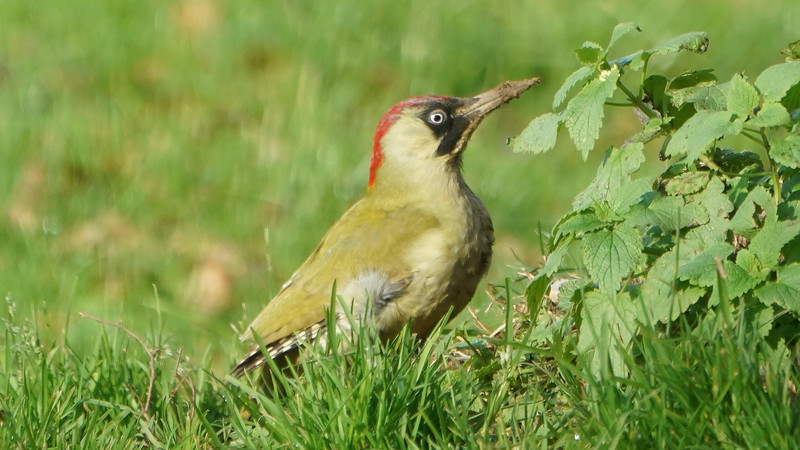 Animals, Birds, Green Woodpecker, Marwell Zoo, Wild, Woodpecker - 09/12/2017