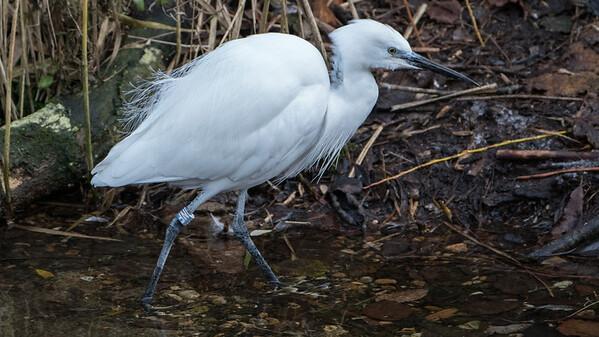 Animals, Birds, Egret, Little Egret, Marwell Zoo - 09/12/2017