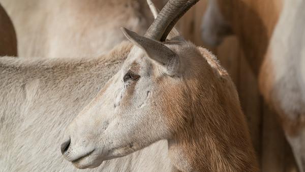 Animals, Marwell Zoo, Scimitar-horned oryx - 09/12/2017