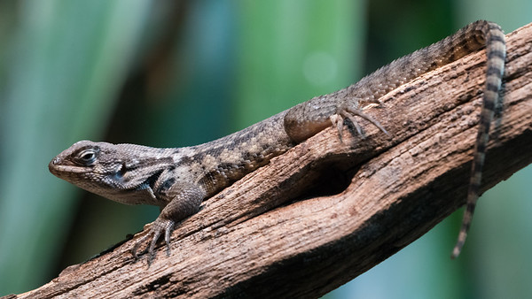 Animals, Marwell Zoo, Northern Curly-Tailed Lizard - 09/12/2017