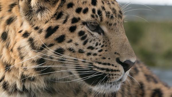 Amur Leopard, Animals, Big Cat, Leopard, Marwell Zoo - 09/12/2017