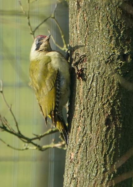 Animals, Birds, Green Woodpecker, Marwell Zoo, Wild, Woodpecker - 09/12/2017