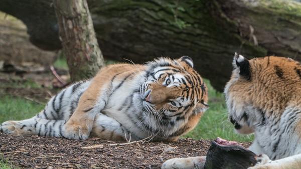 Amur Tiger, Animals, Big Cat, Marwell Zoo, Siberian Tiger, Tiger - 09/12/2017