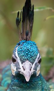 Animals, Birds, GreenPeafowl, Marwell Zoo; ,,,