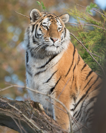 Amur Tiger, Animals, Big Cat, Marwell Zoo, Siberian Tiger, Tiger - 19/11/2017