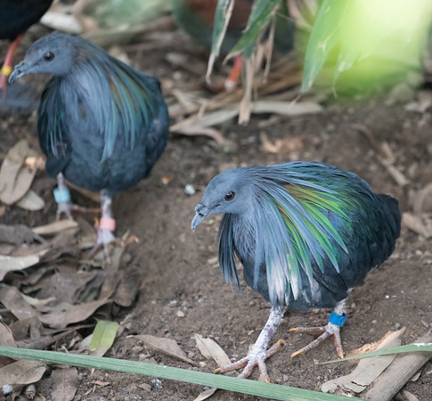 Animals, Birds, Marwell Zoo, Nicobar Pigeon, Pigeon, Tropical House @ Marwell Zoo, City of Winchester,England - 22/03/2018