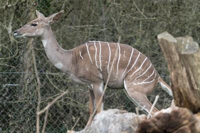 Animals, Lesser Kudu, Marwell Zoo @ Marwell Zoo, City of Winchester,England - 22/03/2018