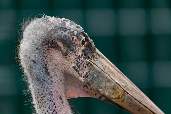 Animals, Birds, Marabou Stork, Marwell Zoo @ Marwell Zoo, City of Winchester,England - 22/03/2018
