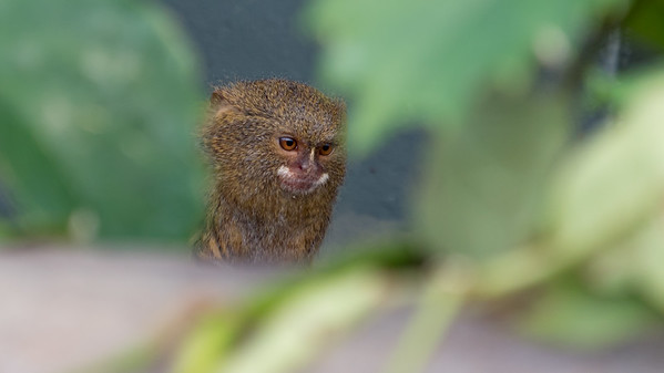 Animals, Marwell Zoo, Pygmy Marmoset, Tropical House @ Marwell Zoo, City of Winchester,England - 22/03/2018