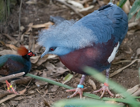 Animals, Birds, Crested Wood Partridge, Male, Marwell Zoo, Partridge, Pigeon, Sciaters Crowned Pigeon, Tropical House @ Marwell Zoo, City of Winchester,England - 22/03/2018