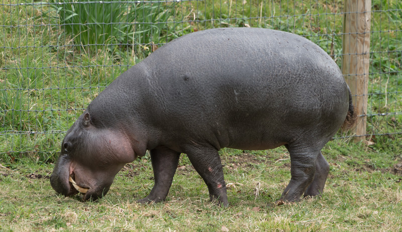 Animals, Hippopotomus, Marwell Zoo, Pygmy Hippo @ Marwell Zoo, City of Winchester,England - 22/03/2018