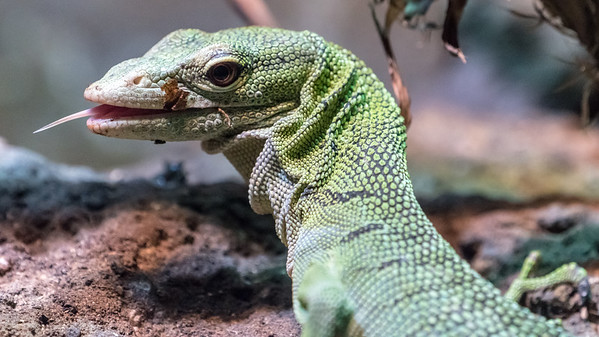 Animals, Cold Blooded Corner, Emerald Tree Monitor, Marwell Zoo @ Marwell Zoo, City of Winchester,England - 22/03/2018