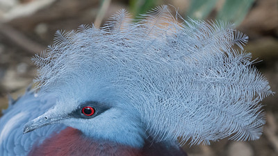 Animals, Birds, Marwell Zoo, Pigeon, Sciaters Crowned Pigeon, Tropical House @ Marwell Zoo, City of Winchester,England - 22/03/2018