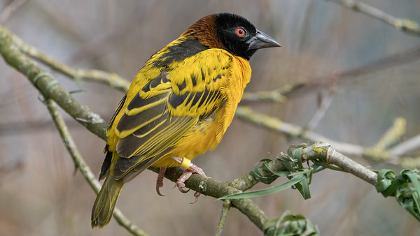 Animals, Birds, Marwell Zoo, Village Weaver, Walkthrough Aviary @ Marwell Zoo, City of Winchester,England - 22/03/2018