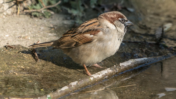 Animals, Birds, Marwell Zoo, Sparrow @ Marwell Zoo, City of Winchester,England - 24/02/2018