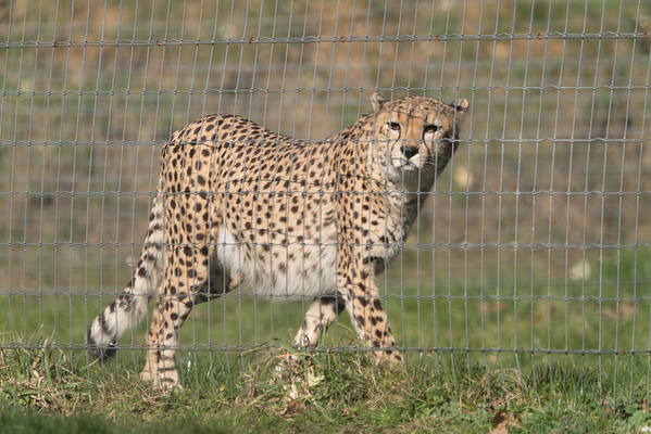 Animals, Big Cat, Cheetah, Marwell Zoo @ Marwell Zoo, City of Winchester,England - 24/02/2018