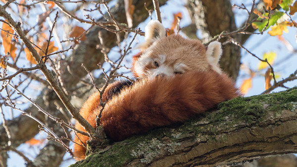 Animals, Marwell Zoo, Red Panda