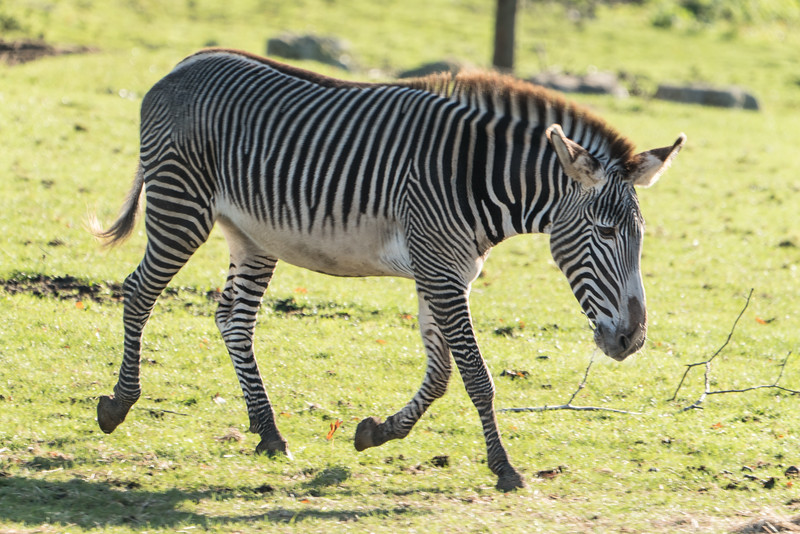 Animals, Grevy's, Marwell Zoo, Zebra
