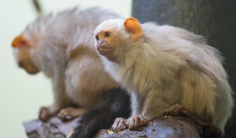 Animals, Marwell Zoo, Silvery Marmoset