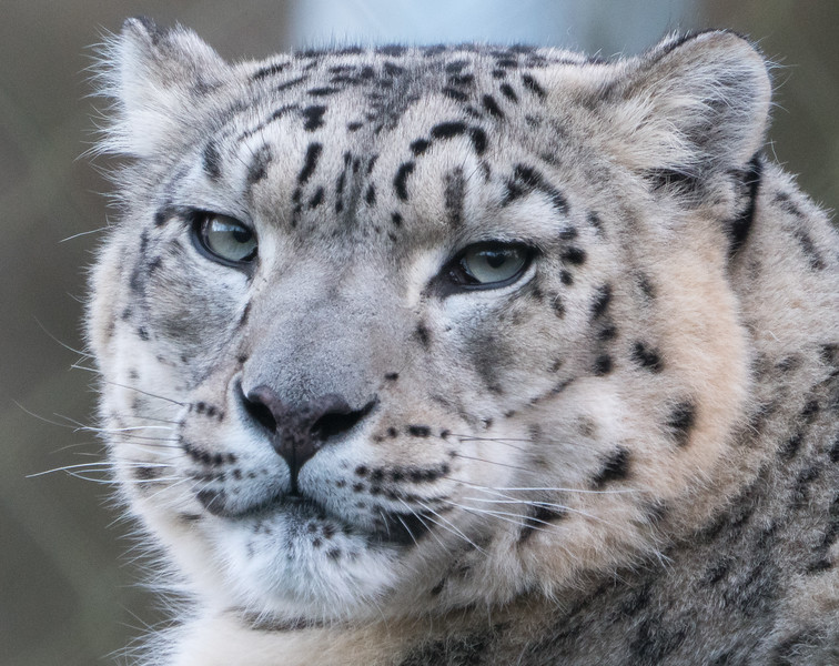 Animals, Big Cat, Leopard, Marwell Zoo, Snow Leopard