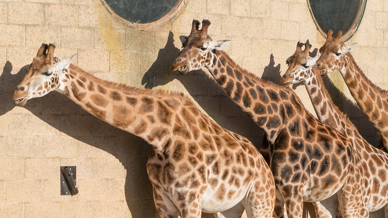 Animals, Giraffe, Marwell Zoo, Rothschilds Giraffe
