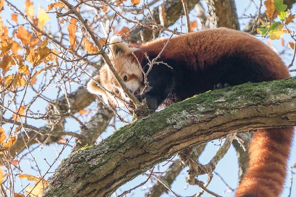 Animals, Marwell Zoo, Red Panda