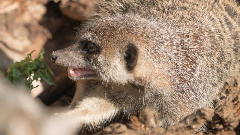 Animals, Marwell Zoo, Meerkat, Slender-tailed Meerkat - 25/11/2017