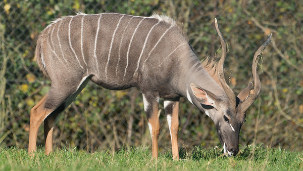 Animals, Lesser Kudu, Marwell Zoo