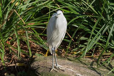 Animals, Birds, Egret, Little Egret, Marwell Zoo, Walkthrough Aviary