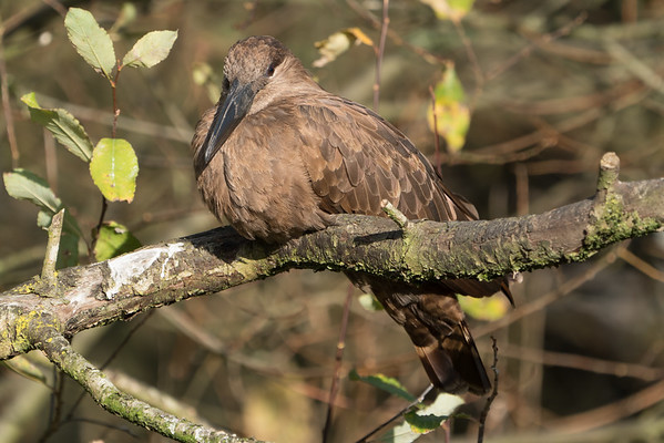 Animals, Birds, Hamerkop, Marwell Zoo, Walkthrough Aviary