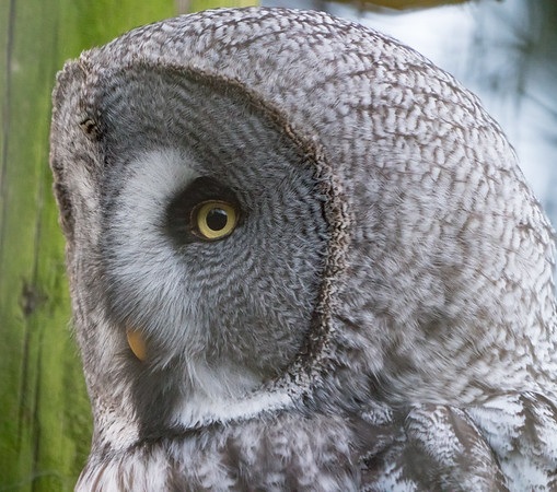 Animals, Birds, Great Grey Owl, Marwell Zoo, Owl