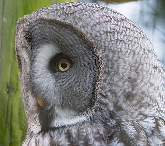 Animals, Birds, Great Grey Owl, Marwell Zoo, Owl