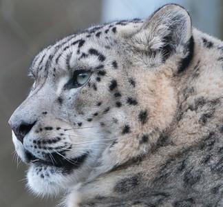 Animals, Big Cat, Leopard, Marwell Zoo, Snow Leopard