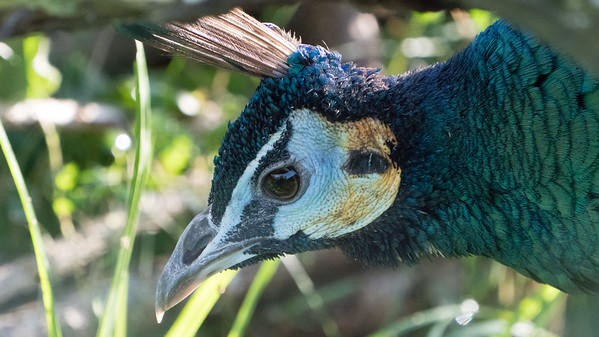 Animals, Birds, Green Peafowl, Marwell Zoo