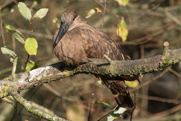 Animals, Birds, Hamerkop, Marwell Zoo, Walkthrough Aviary