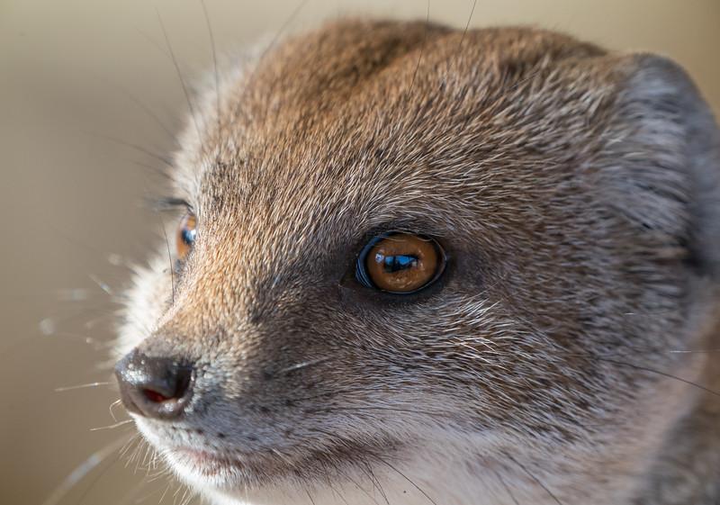 Animals, Marwell Zoo, Mongoose, Yellow Mongoose @ Marwell Zoo, City of Winchester,England - 28/01/2018