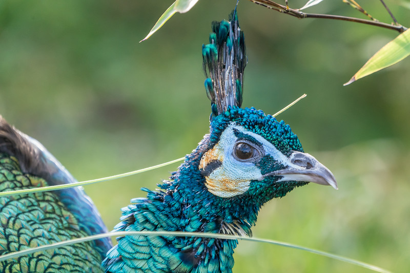 Animals, Birds, GreenPeafowl, Marwell Zoo @ Marwell Zoo, City of Winchester,England - 28/01/2018