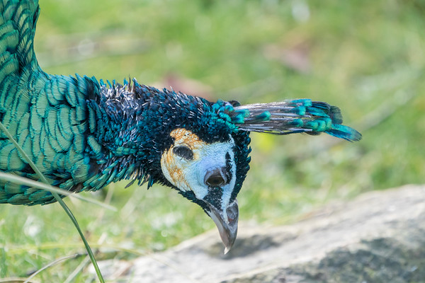 Animals, Birds, Green Peafowl, Marwell Zoo @ Marwell Zoo, City of Winchester,England - 28/01/2018