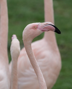 Animals, Birds, Flamingo, Greater Flamingo, Marwell Zoo @ Marwell Zoo, City of Winchester,England - 28/01/2018