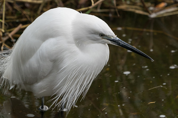 Animals, Birds, Egret, Little Egret, Marwell Zoo, Walkthrough Aviary @ Marwell Zoo, City of Winchester,England - 28/01/2018