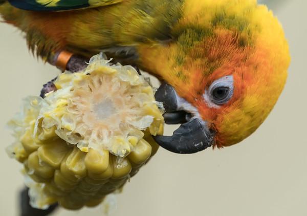 Animals, Birds, Marwell Zoo, Sun Conure @ Marwell Zoo, City of Winchester,England - 28/01/2018
